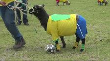 Овечий мундиаль: четвероногие футболисты сыграли матч за Колумбию и Бразилию